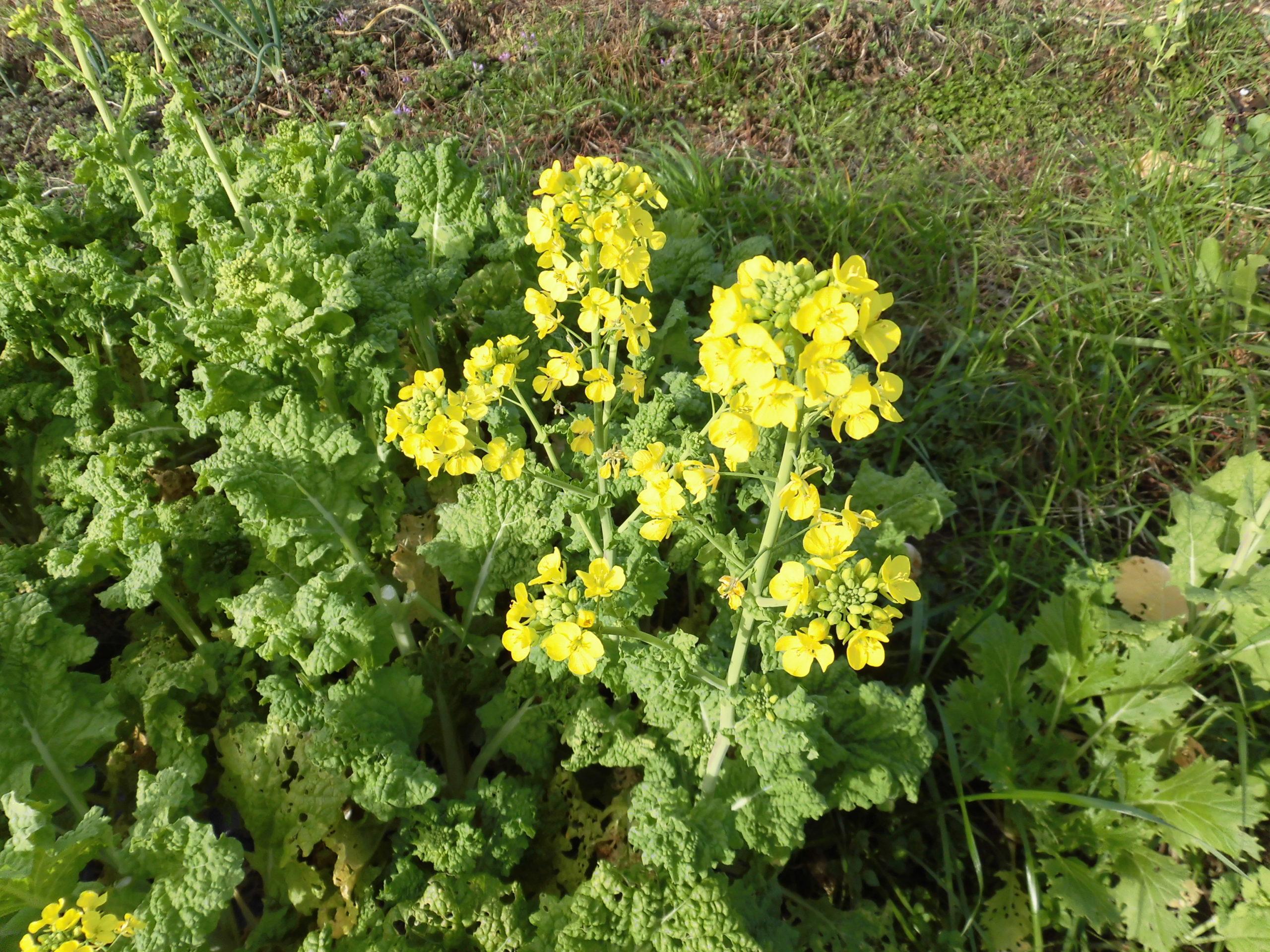 美味安全野菜栽培士が菜園を公開!明けましておめでとう!