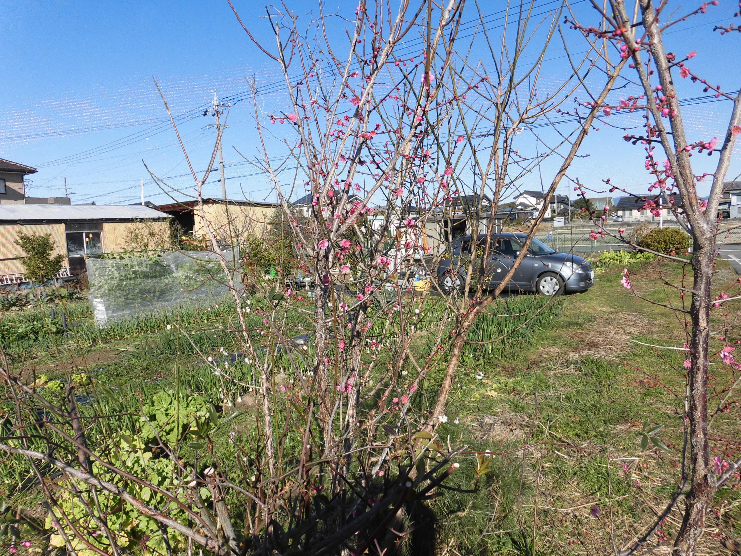 野菜栽培士が菜園を公開!極早生玉ねぎの収穫と早春の様子です!