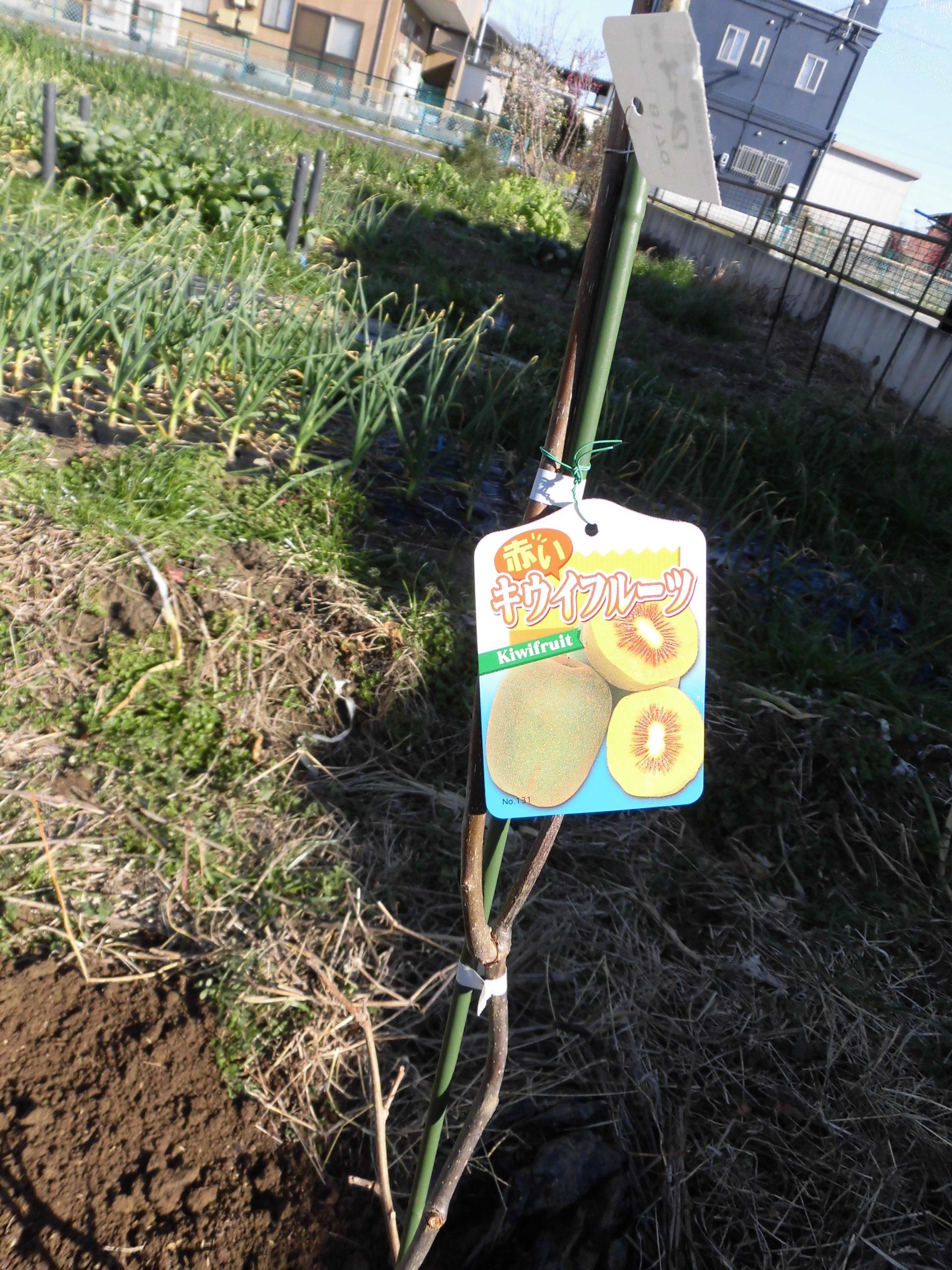 野菜栽培士が菜園を公開!キューイフルーツの棚の作成設置!
