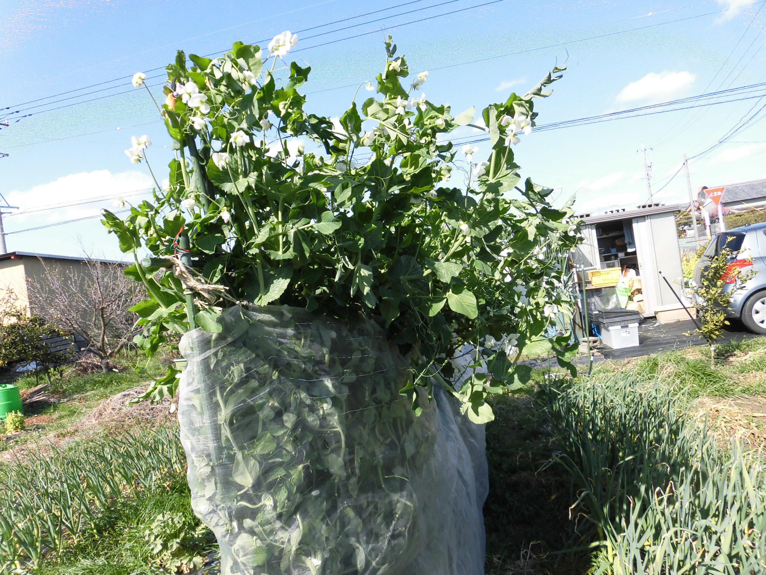 野菜栽培士が菜園を公開!菜園の春の花々と「きぬさや」の収穫!