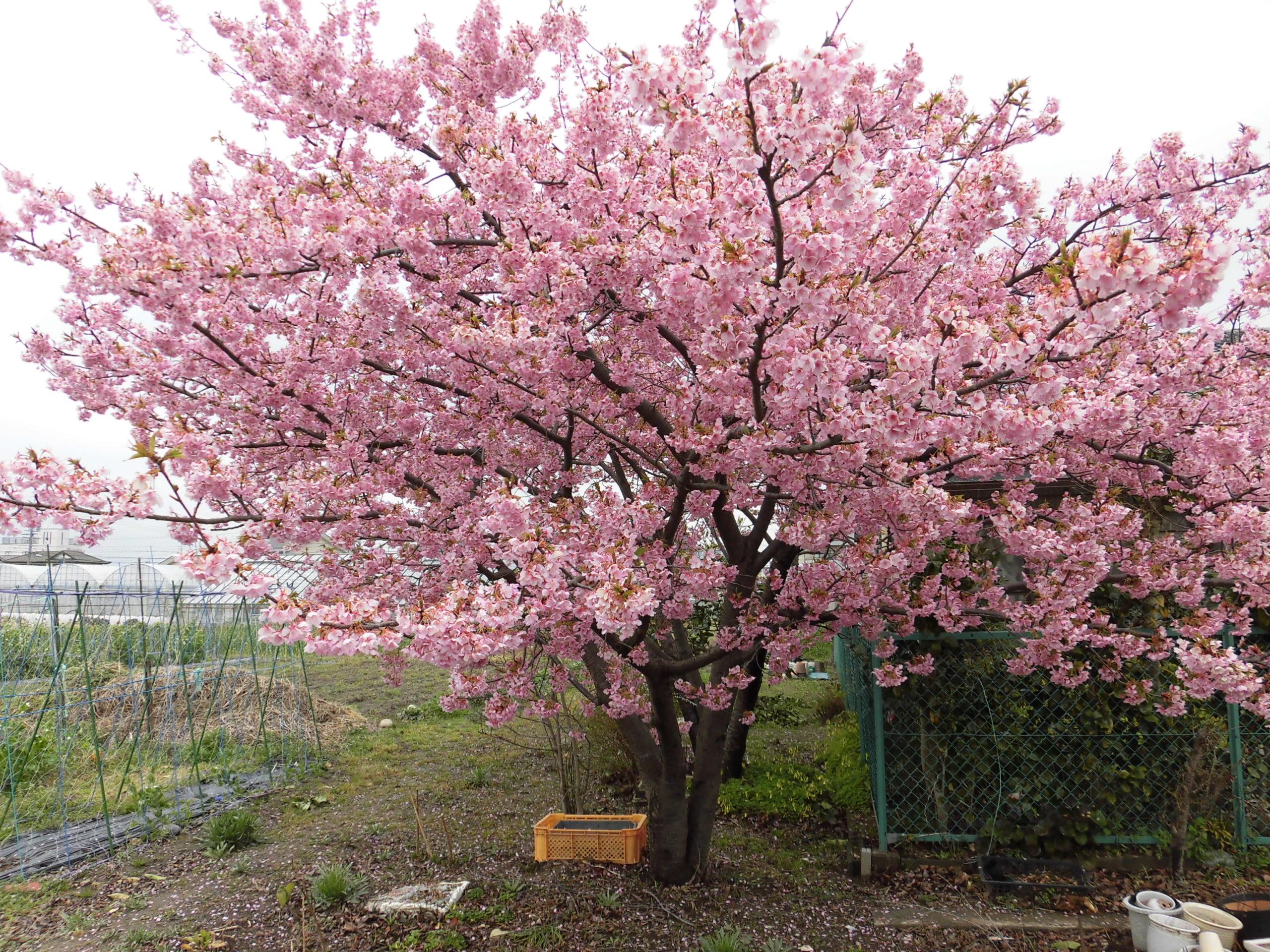 野菜栽培士が菜園を公開!春大根の種まきと根深ねぎの植え付け!
