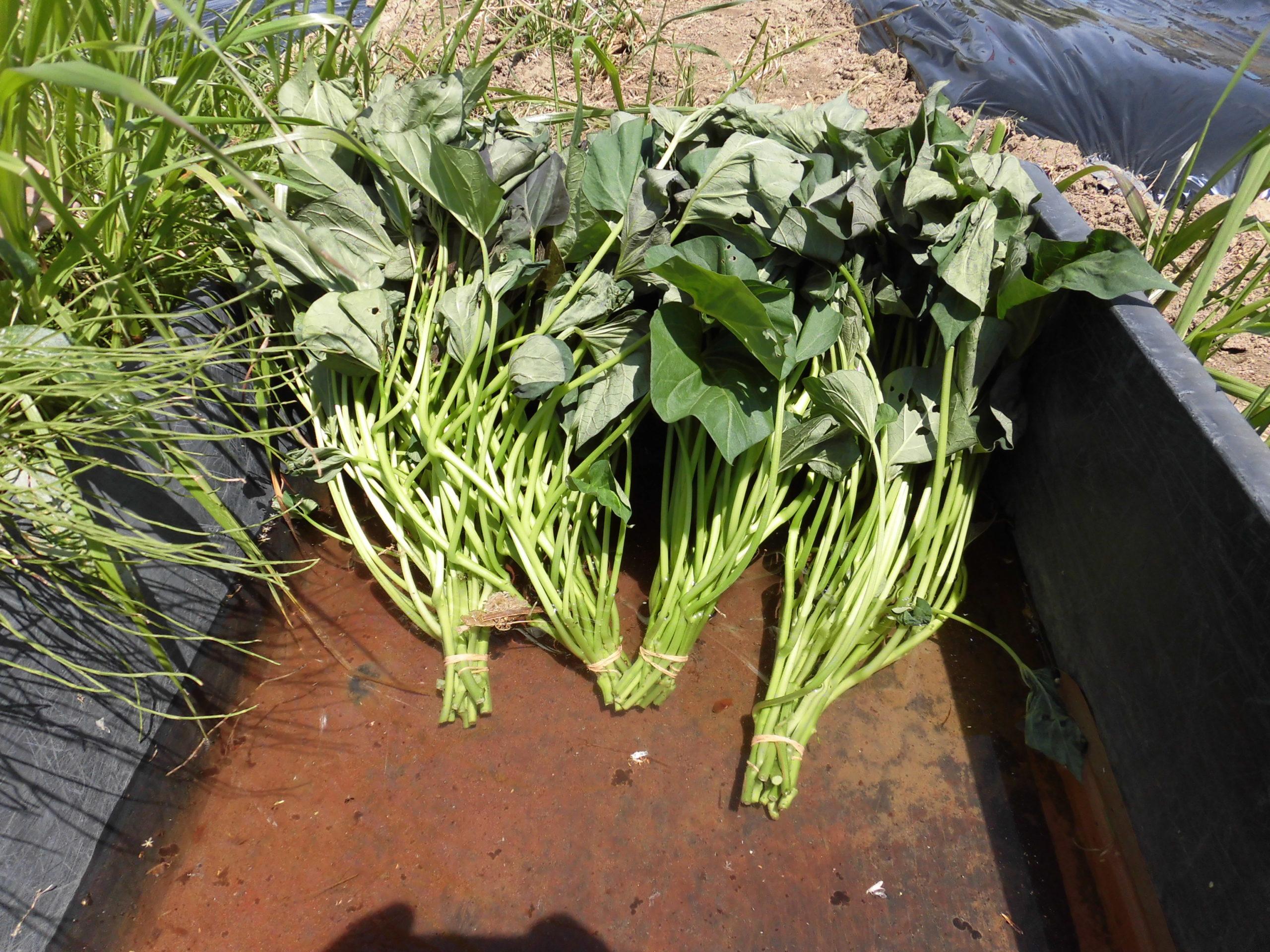 野菜栽培士が菜園を公開!サツマイモの苗の植え付け!