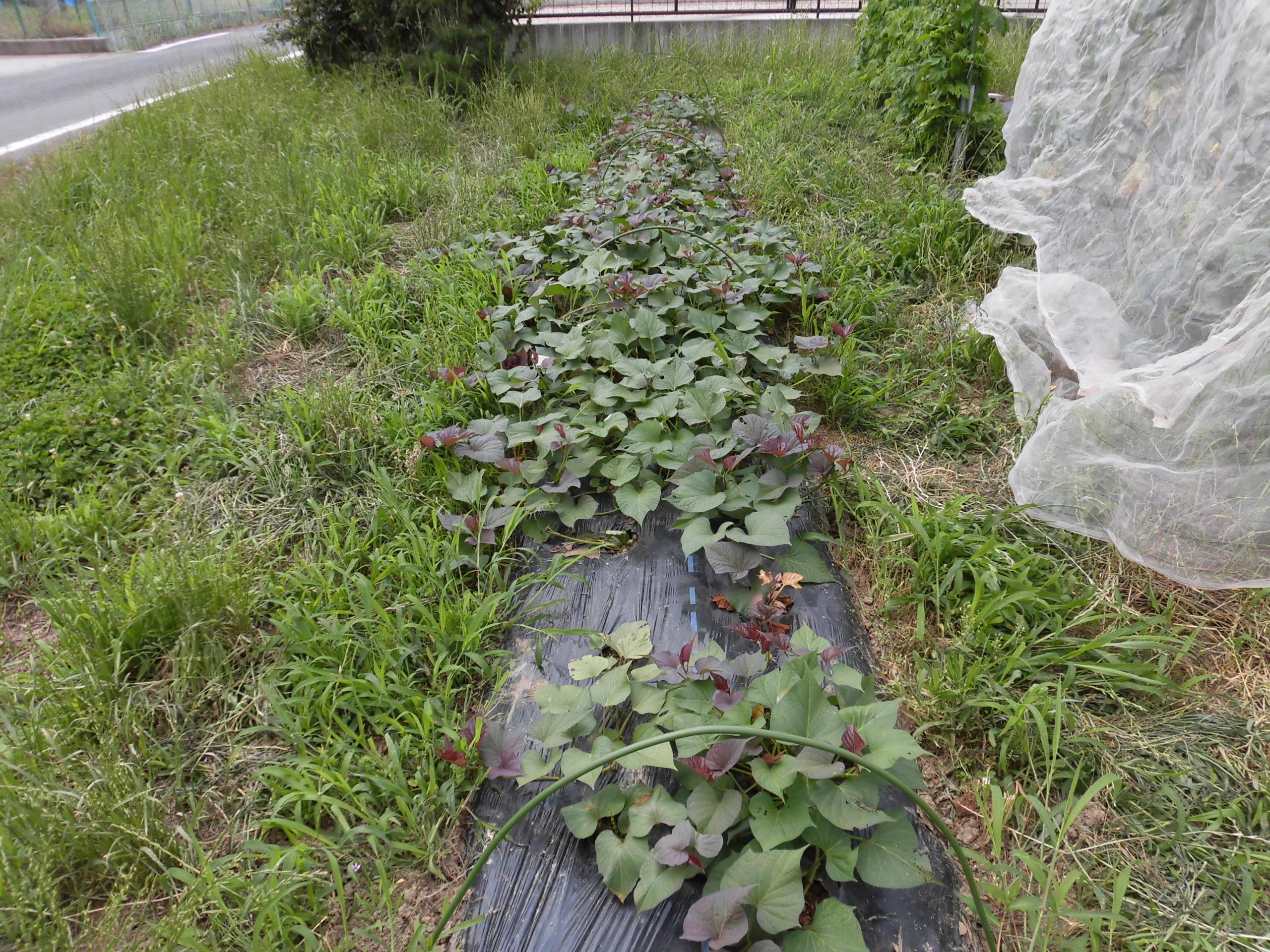 野菜栽培士が菜園を公開!夏野菜が大豊作!ほかも順調に成長中!