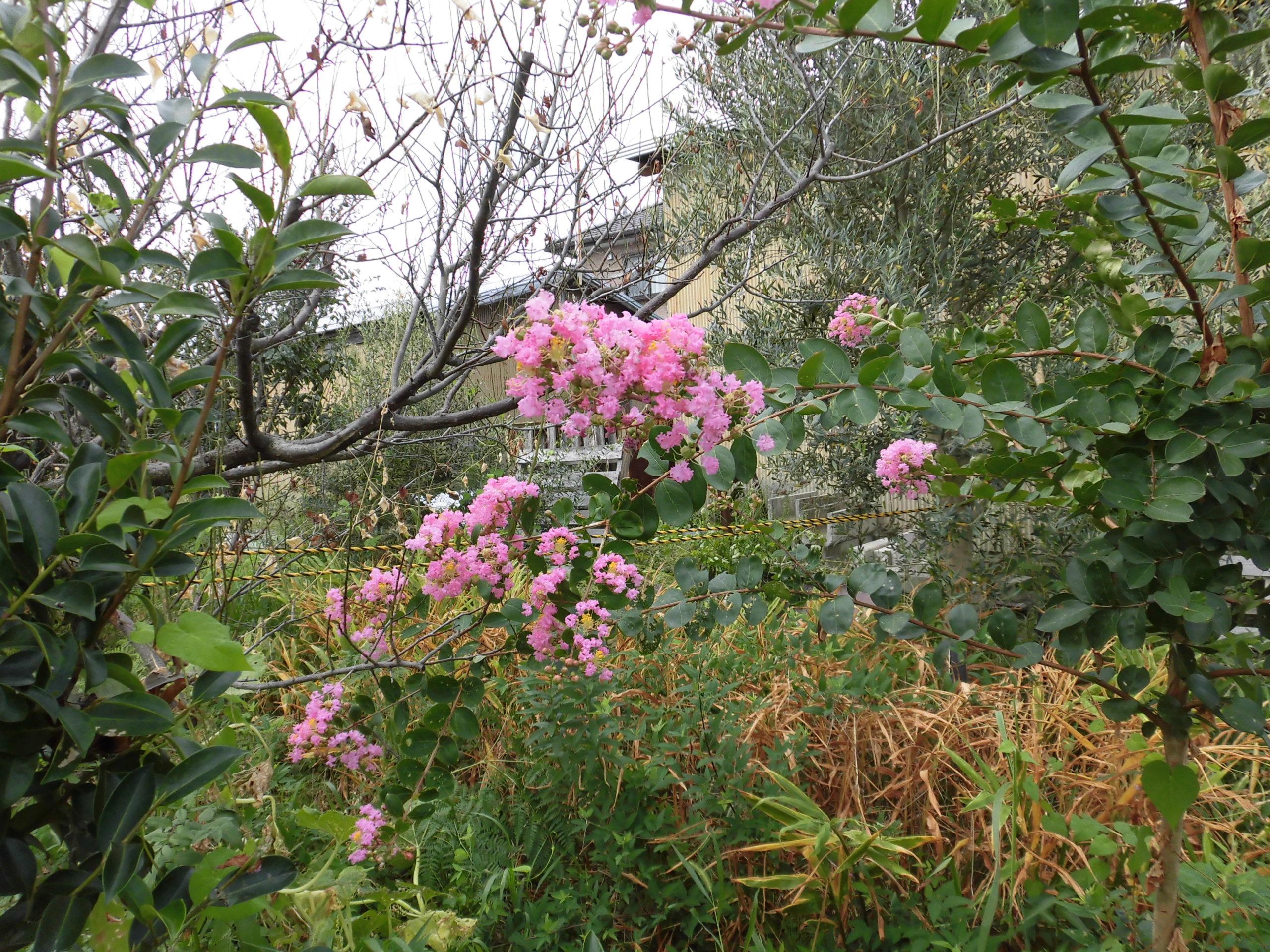 野菜栽培士が菜園を公開!真夏の異変!南高梅の木が枯れる!?