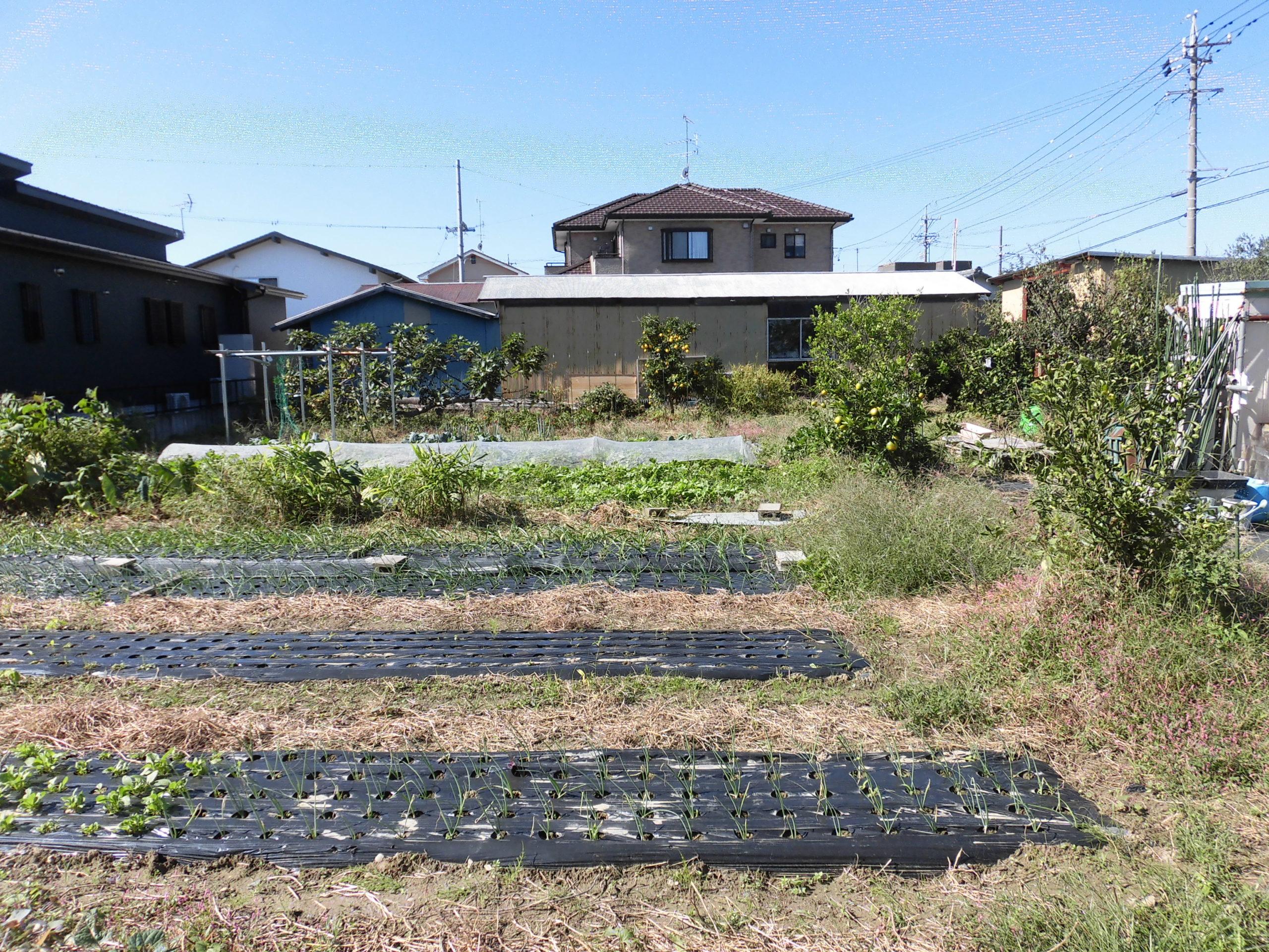 野菜栽培士が菜園を公開!玉ねぎの植え付け完了と菜園の現状!